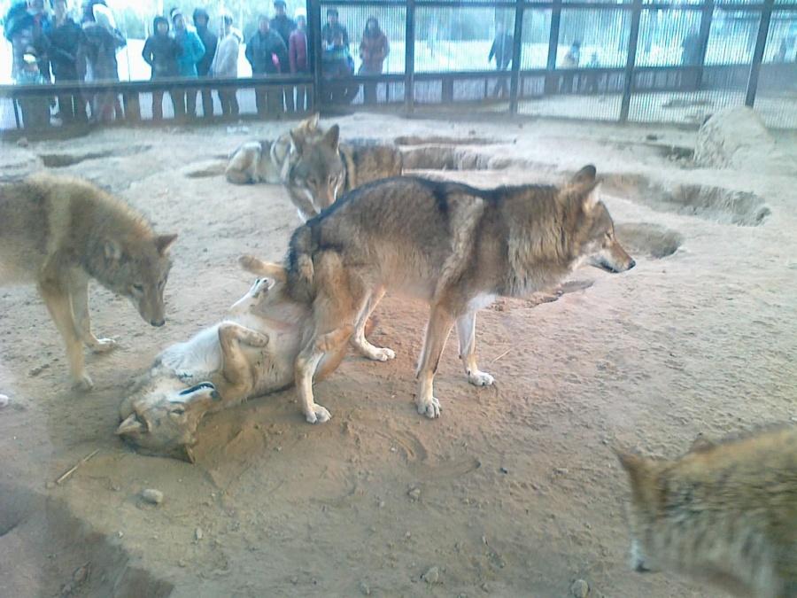 北京动物园-狼在亲热图片
